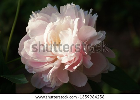 Peony Mrs. Franklin D. Roosevelt.  Double pink peony flower. Paeonia lactiflora (Chinese peony or common garden peony).  Photo stock ©