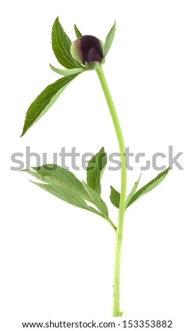 Peony or paeonia flower bud isolated on white background
