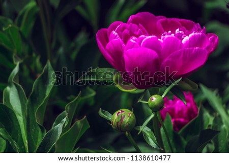 Peony or Paeony purple flower buds surrounded by thick green leaves. Dark pink peony flower opening its petals. Stylish natural photo with deep dark green color and shiny violet color. Filled full pic