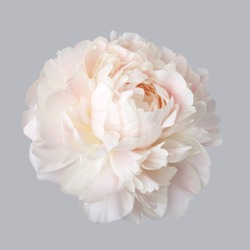 Peony pale pink color isolated on a gray background