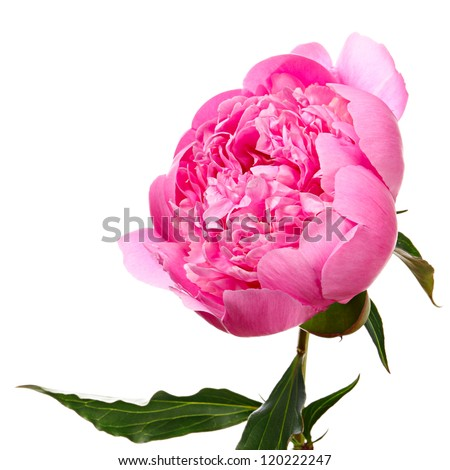 Peony. Pink flower isolated on white