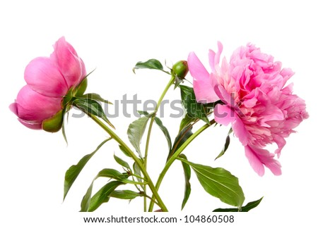Peony. Pink flowers isolated on white