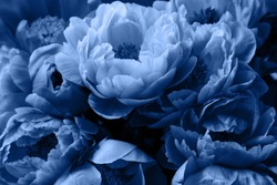 Peony roses flowers, beautiful floral background in blue color.