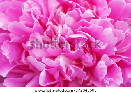 Peony ultra violet flower petals close-up photo. Colourful textured decorative pink plant, shallow depth of field.