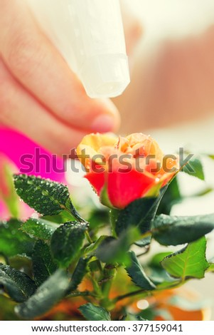 people, gardening, flower planting and profession concept - close up of woman or gardener hand spraying rose with sprayer #377159041