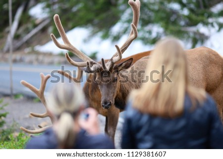 People standing too close to wildlife elk and taking pictures in Rocky Mountain National park