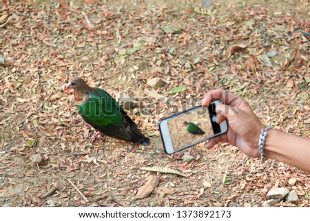 People use the phone take pictures of birds in the Park,Common Emerald Dove on nature background. Scientific name Chalcophaps indica