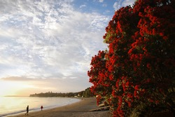 People walking on Takapuna beach in the morning with Pohutukawa flowers in full bloom
