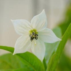 Pepper cayenne zaden biologisch (Capsicum annuum), cayenne pepper flower.