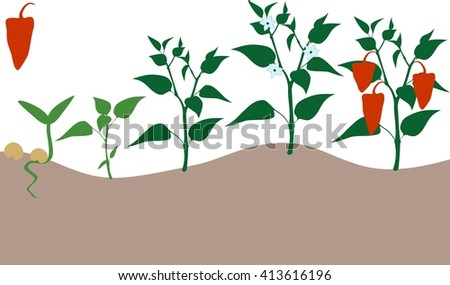 Pepper growing stage