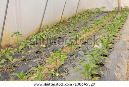 Pepper in greenhouse