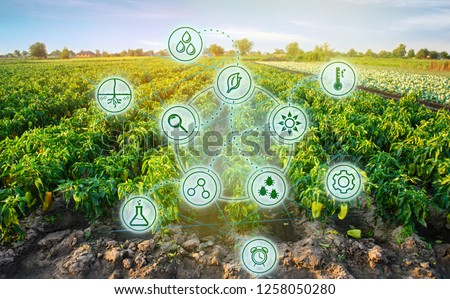 Pepper in the field. Scientific work and development of new methods and selection of varieties. High technologies and innovations in agro-industry. Investing in farming. Study quality of soil and crop