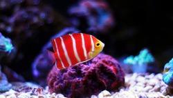 Peppermint Angelfish - (Paracentropyge boylei)