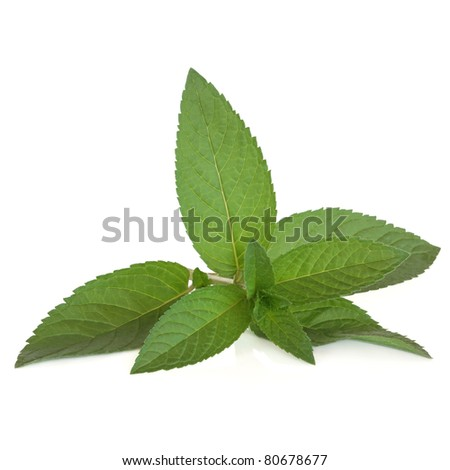Peppermint herb leaf sprig isolated over white background.