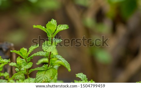 Peppermint is a Thai herb that is rich in various vitamins and minerals such as beta carotene, vitamin B1, vitamin B2, vitamin B3, vitamin C and calcium.