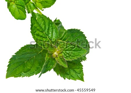 Peppermint leaf. Isolated on white background.