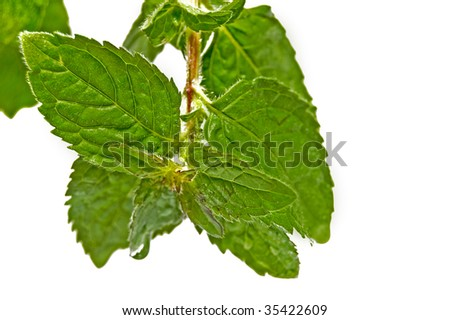 Peppermint leaf  with dew drop closeup.  Welcome! More similar images available.