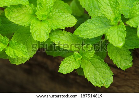 Peppermint leaves in herb garden for food ingredient.
