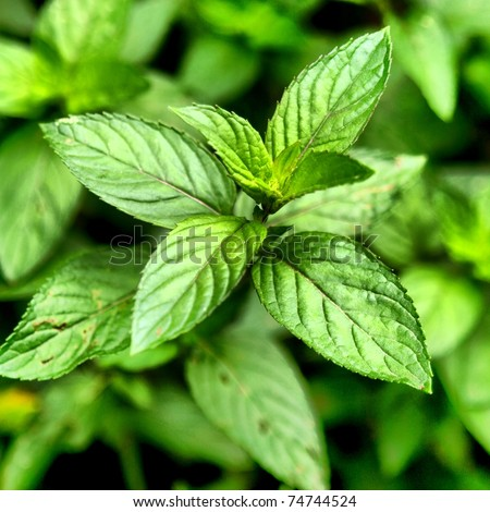 Peppermint - Mentha piperita also known as M balsamea Willd mint - high dynamic range HDR