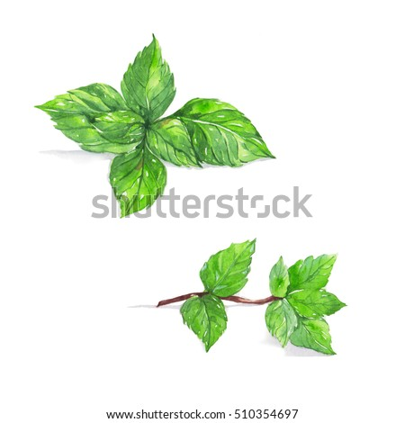 Peppermint, Mint , watercolor painting