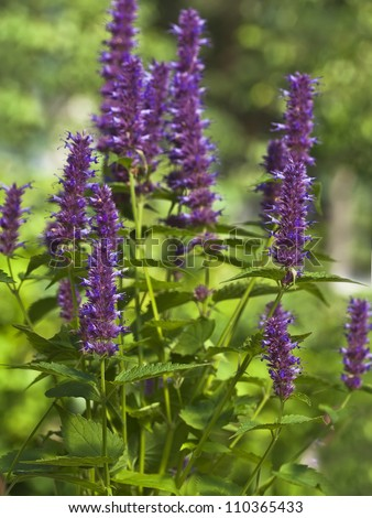 Peppermint Plant Flower Stock Photo 110365433 : Shutterstock