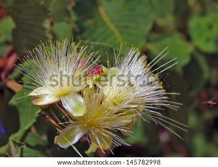 Pequi, fruto caracterÃ?stico do cerrado brasileiro Flor do Pequi  Foto stock ©