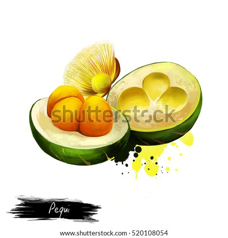 Pequi illustration isolated on white. Tropical fruit. Caryocar brasiliense, known as Pequi Portuguese pronunciation or souari nut. Edible fruit. Fruits of the world collection. Digita art illustration Foto stock ©