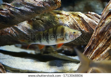 Perca fluviatilis, commonly known as the common perch, European perch, redfin perch swimming underwater. Freshwater fish native to Europe and northern Asia. Popular quarry for anglers