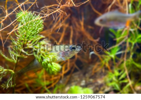 Perca fluviatilis, European perch, freshwater predator fish waits for prey among roots of willow in biotope aquarium, nature photo