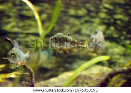 Perca fluviatilis. Thecommon perch,European perch,big-scaled redfin,English perch,Eurasian perch, in public aquarium