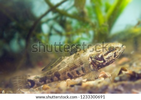 Perccottus glenii, Chinese sleeper, freshwater predator in biotope aquarium on tank bottom, side view nature photo