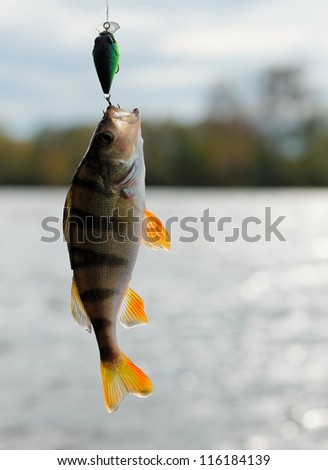 Perch caught on plastic lure, back light