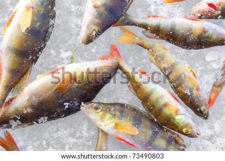 perch fish close-up background