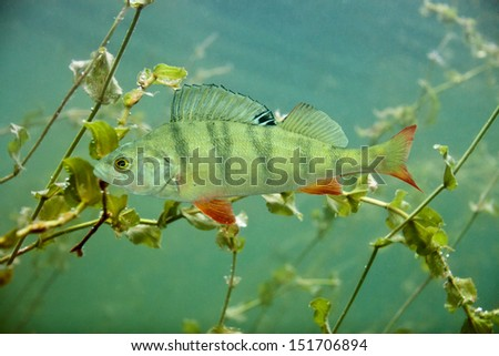 Perch in the lake