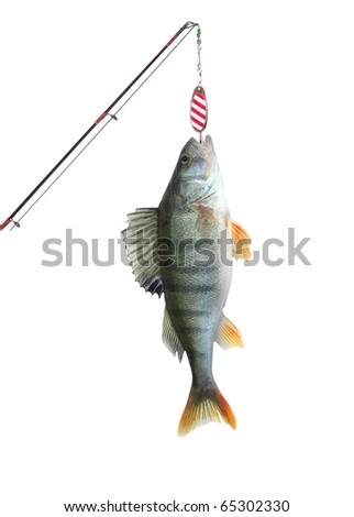 perch on fishing-rod on white background