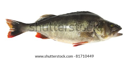 Perch (Perca fluviatilis) trophy fish isolated on white background