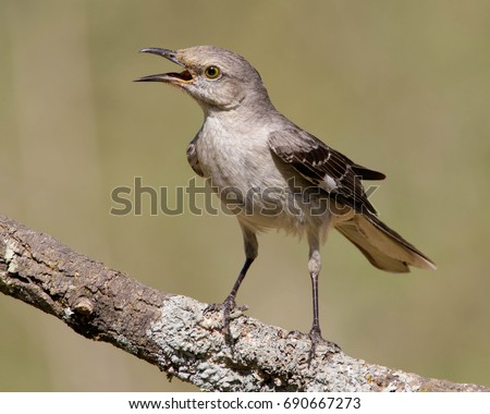 Perched, angry Northern Mockingbird in South Texas