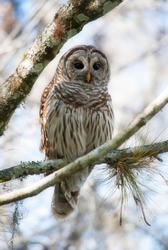 Perched Barred Owl in Florida