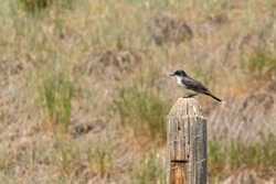 Perched Eastern Kingbird surveys its territory for insects in a coulee in the Grasslands region of rural Alberta