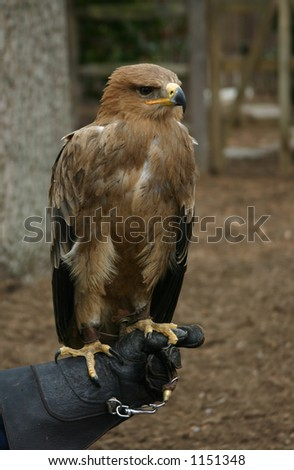 Perched Tawny Eagle on Hand of Trainer