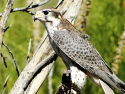 Perched The Prairie Falcon