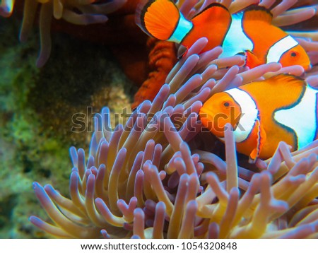 Percula Clownfish with Eggs on the Great Barrier Reef #1054320848