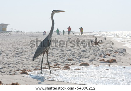 PERDIDO KEY, FL - JUNE 9:  A blue heron stands on the shores of the Gulf of Mexico as BP oil workers clean the beach on June 9,  2010 in Perdido Key, FL.
