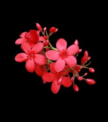 Peregrina, Spicy Jatropha, Jatropha integerrima, Close up small red flowers bouquet isolated on black background. Top view exotic flowers.