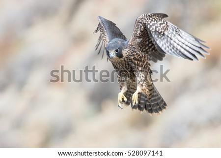 Peregrine Falcon Stock photo ©