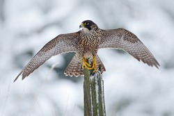 Peregrine Falcon, bird of prey sitting on the tree trunk with open wings during winter with snow, Germany. Wildlife scene from snowy nature.