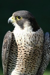 Peregrine falcon bird of prey with beautiful plumage