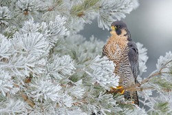 Peregrine Falcon, bird of prey with snow sitting on the white rime pine tree, dark green forest in background, action scene in the nature tree habitat, Czech Republic, Europe.