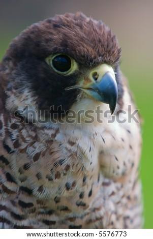 Peregrine Falcon close-up Falco peregrinus