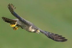 Peregrine Falcon diving onto its prey
